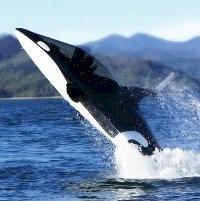 Killer Whale Sub
